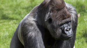 """Bokito - Worlds Most Famous Gorilla (4528396055)"" by Maarten Visser from Capelle aan den IJssel"