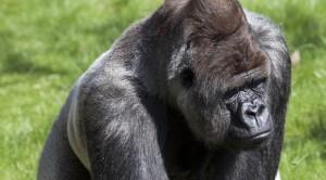 """""""Bokito - Gorila más famoso del mundo (4528396055)"""" por Maarten Visser de Capelle aan den IJssel"""